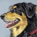 Art Drawing - Dog Portrait 01 - Animal - English Shepherd Mix