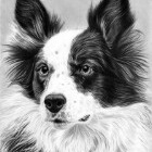 Art Dessin - Portrait de Chien 02 - Animal - Border Collie