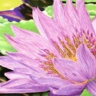 Art Drawing - Purple Water Lily - Flower