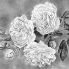 Art Drawing - 'Sweetheart let us see if the rose' - Flower - Rose