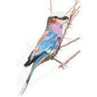 Art Drawing - Making of Lilac Breasted Roller - Bird - Step 5