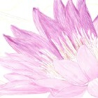 Art Drawing - Making of Purple Water Lily - Flower - Step 3