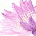 Art Drawing - Making of Purple Water Lily - Flower - Step 4
