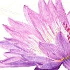 Art Drawing - Making of Purple Water Lily - Flower - Step 5