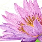 Art Drawing - Making of Purple Water Lily - Flower - Step 6