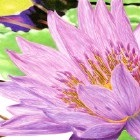 Art Drawing - Making of Purple Water Lily - Flower - Step 7