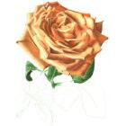 Art Drawing - Making of For ever beautiful - Rose - Flower - Step 5
