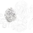 Art Drawing - Making of 'Sweetheart let us see if the rose' - Flower - Rose - Step 2